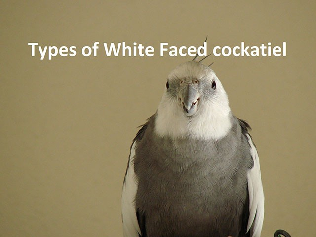 Types of White Faced Cockatiel