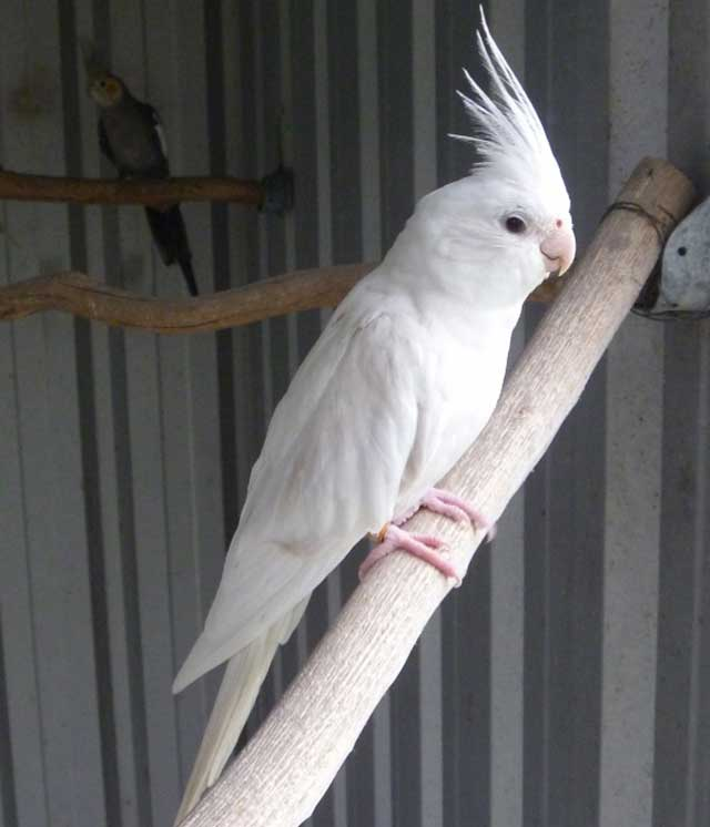 Appearance of Albino Cockatiel