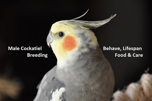Male Cockatiel Behave, Lifespan, Breeding, Food & Care