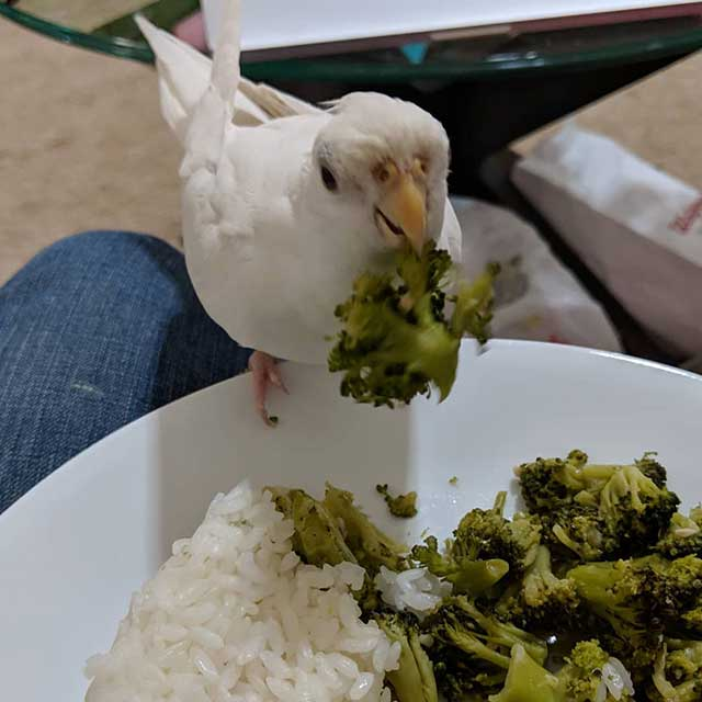 Food of Albino cockatiel and care