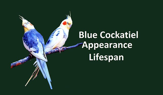 Blue cockatiel