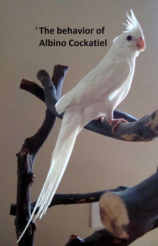 Albino Cockatiel Breeding Behave Food Care Amp Lifespan