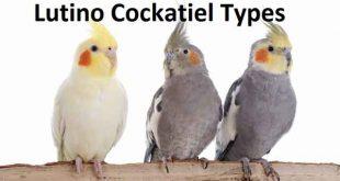 Lutino Cockatiel Types