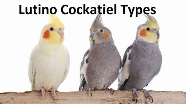 Lutino Cockatiel Types Lifespan, Breeding, Food & Care
