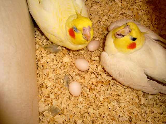 Lutino Cockatiel Nesting