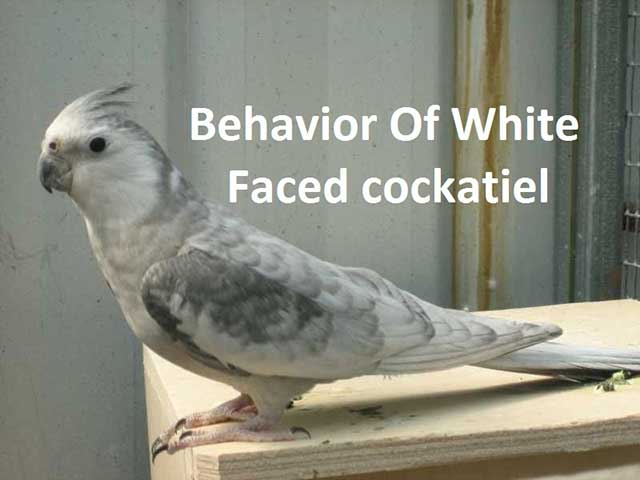Behavior Of White Faced Cockatiel