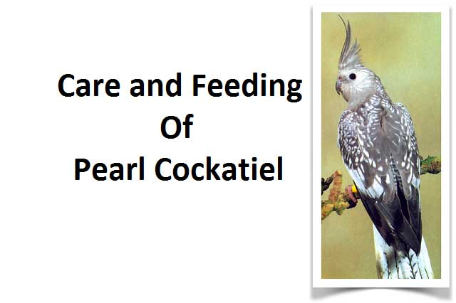 The care and Feeding of Pearl Cockatiel