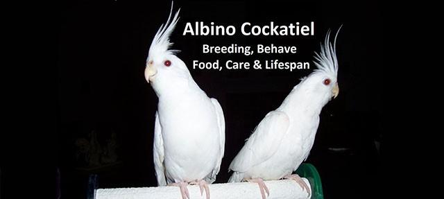 Albino Cockatiel Breeding, Behave, Food, Care & Lifespan