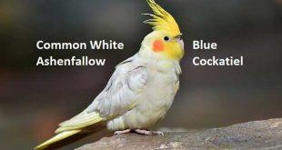 Common White, Blue, Ashenfallow Cockatiel