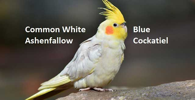 Common White, Blue, Ashenfallow Cockatiel