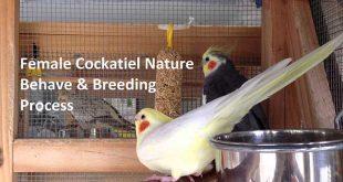 Female Cockatiel