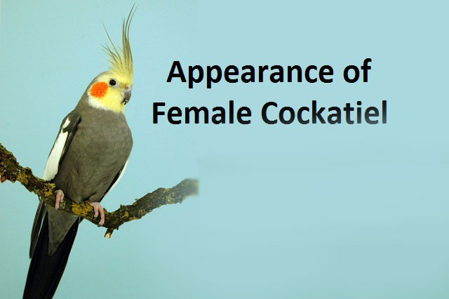Appearance of Female Cockatiel