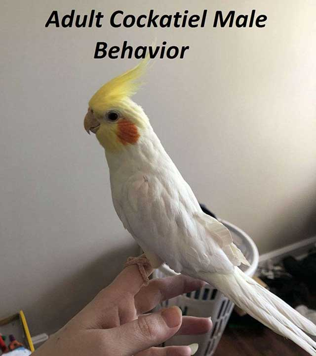 Adult Cockatiel Male Behavior