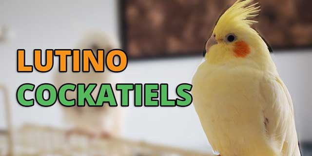 Lutino Cockatiel Behave, Lifespan, Breeding, Food & Care
