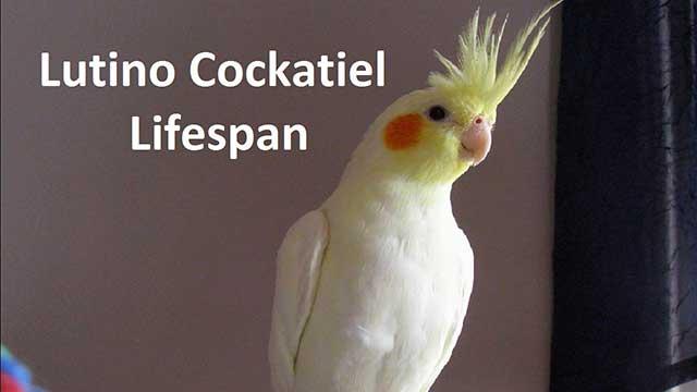 Lutino Cockatiel Lifespan