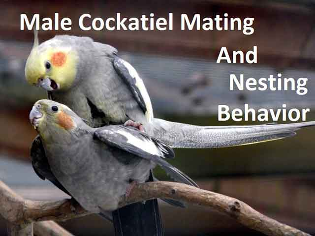 Male Cockatiel Mating And Nesting Behavior