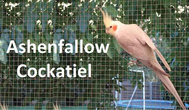 Ashenfallow Cockatiel