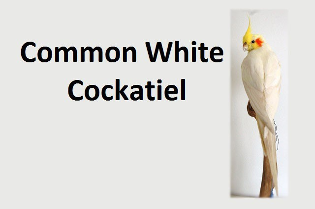 Common White Cockatiel