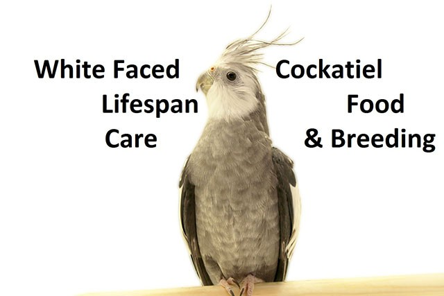 White Faced Cockatiel Lifespan, Food, Care and Breeding