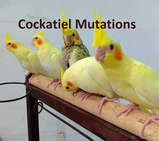 Types Of Cockatiel