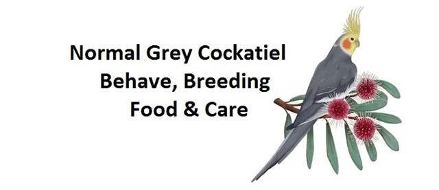 Normal Grey Cockatiel Behave, Breeding, Food & Care