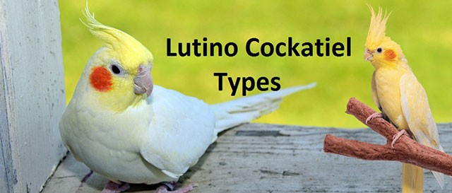 Lutino Cockatiel Types