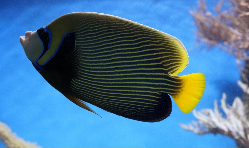 Roal Angelfish