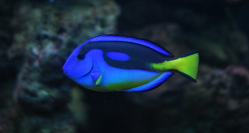 What Kind of Fish is Dory? Can you keep the blue tang as a pet?