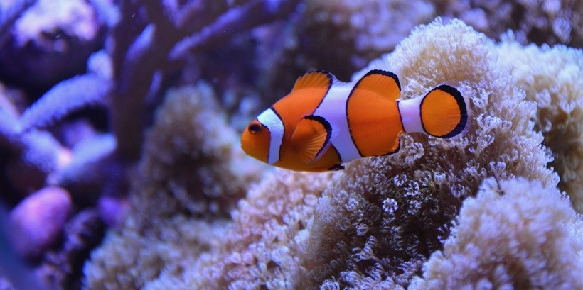 What Kind of Fish is Nemo? Is it Really Exist Complete Facts