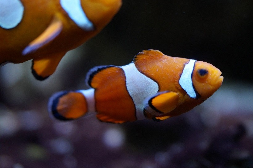 What do the clownfish eat