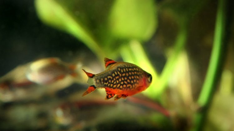 Celestial Pearl Danio Fish (Galaxy Rasbora) All details