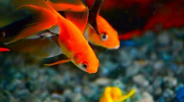 How Long do Goldfish Live? Original Facts and Figures