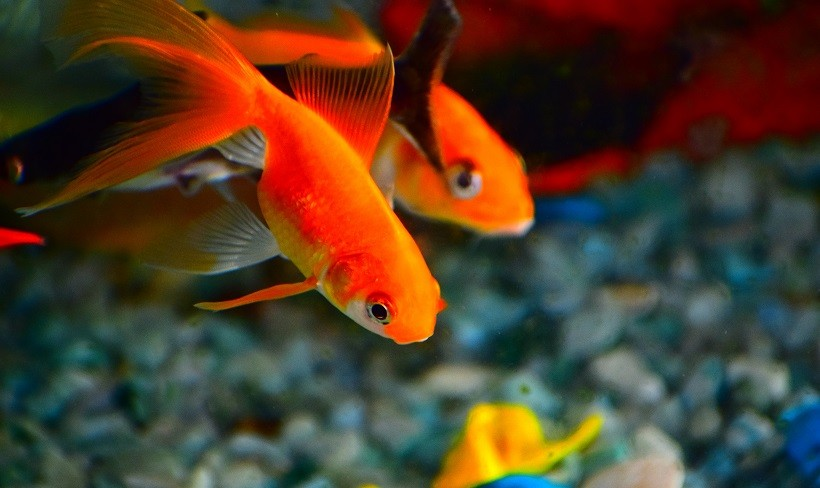 How Long do Goldfish Live