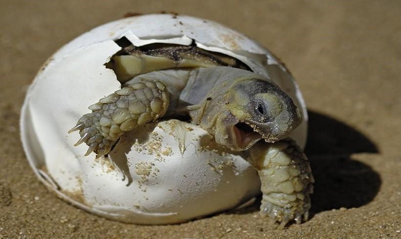 Painted Turtle Eggs in Water