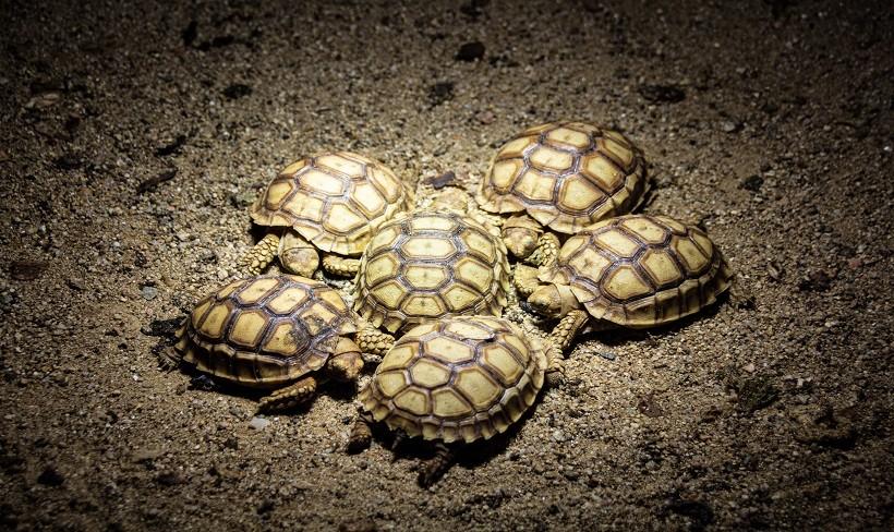 Painted turtle eggs