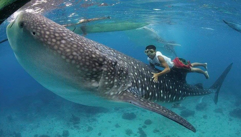 Are the whale sharks friendly?
