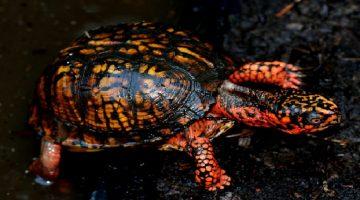 Baby Box Turtle Pet Care | Habitat, Lifespan and Food