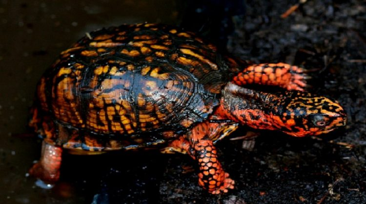 Baby Box Turtle Pet Care | Habitat, Lifespan and Food