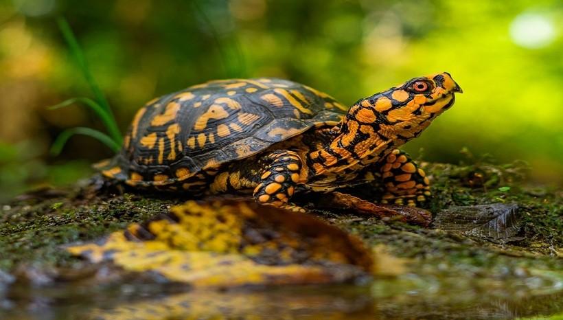 Box Turtle Care