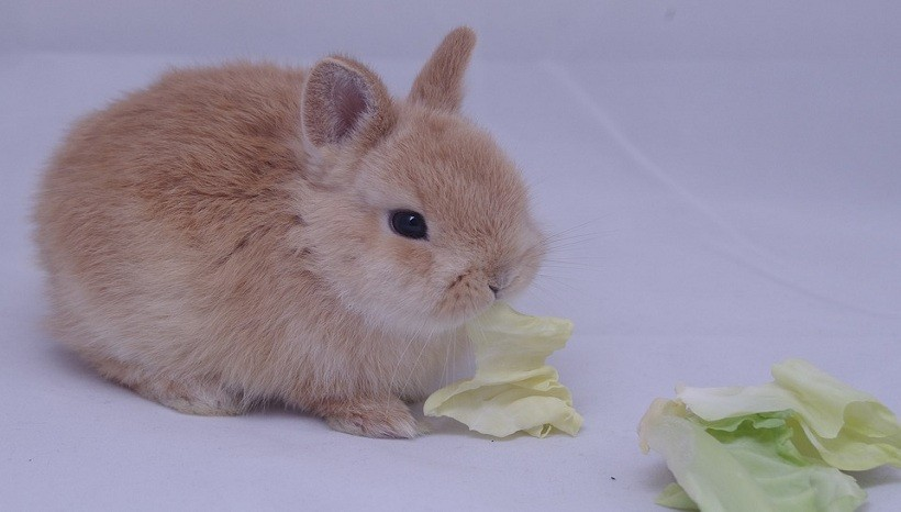 Can rabbits eat celery leaves