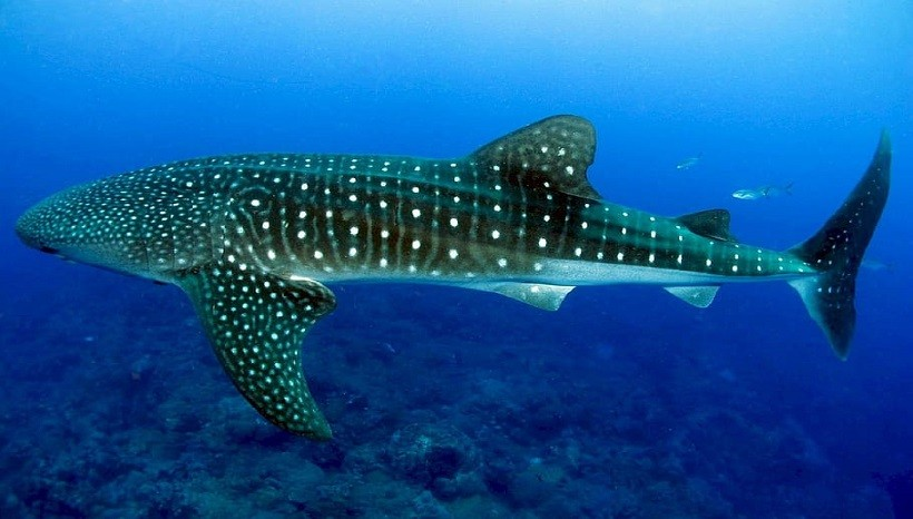 Color patterns on the whale sharks