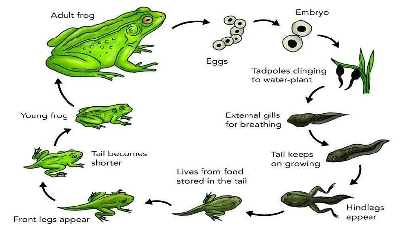 The life cycle of a frog explanation
