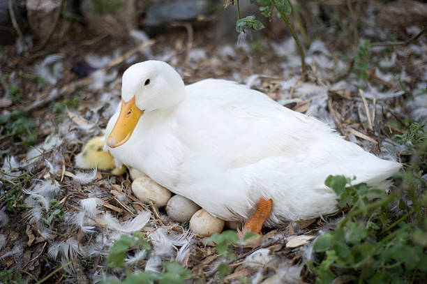 How Long Do Ducks Lay Egg