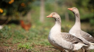 What Do Geese Eat in ponds, wild and in winter times