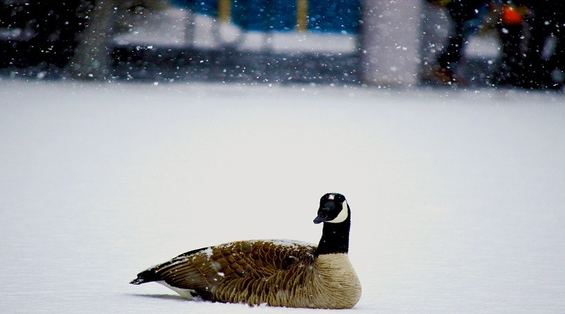 What Do Geese Eat In Winter