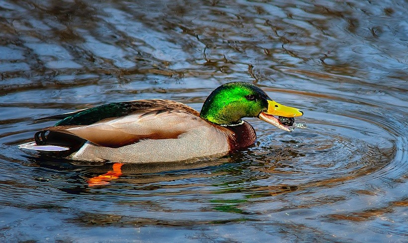What Do Mallard Ducks Eat