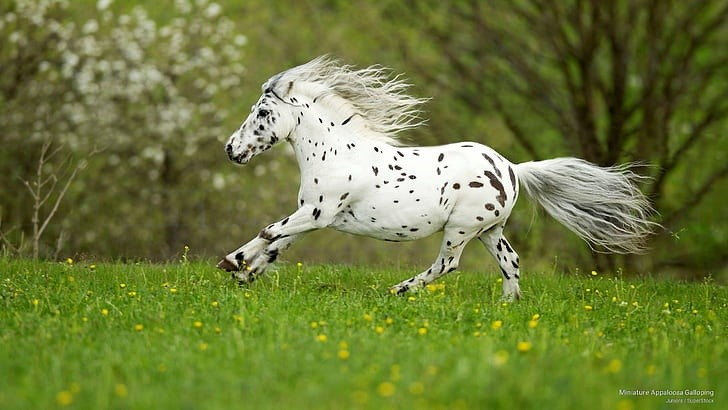 Appaloosa Mini Horse