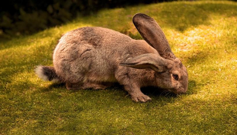 Continental Giant Rabbit Lifespan