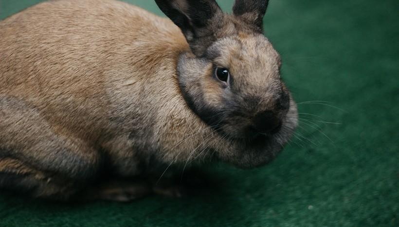 Flemish Giant Rabbit Weight