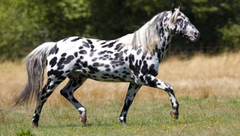 Leopard Appaloosa Horse in stable and in the field